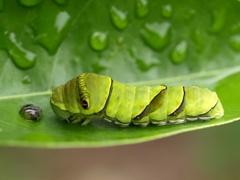 ナミアゲハ 終齢幼虫 約4センチ
